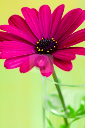 Purple daisy flower stock photo, A close view of purple daisy flower in a vase fill with water by Hieng Ling Tie