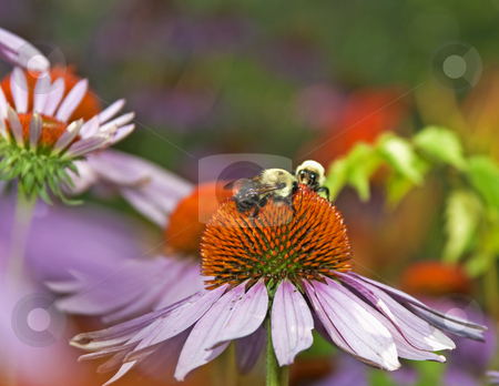 Bumblebees stock photo, 2 bumblebees on purple coneflower gathering pollen by Dennis Crumrin