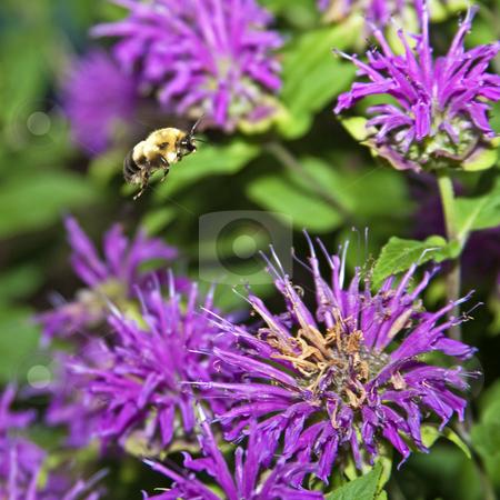 Bumblebee stock photo, Bumblebee in flight landing on monarda plant in garden by Dennis Crumrin