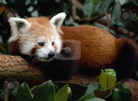 Red Panda stock photo, The Red Panda is endemic to the Himalayas, ranging from Nepal in the west to China in the east. It is also found in northern India, Bhutan and northern Myanmar. There is an estimated population of fewer than 2,500 mature individuals. by Robin Ducker