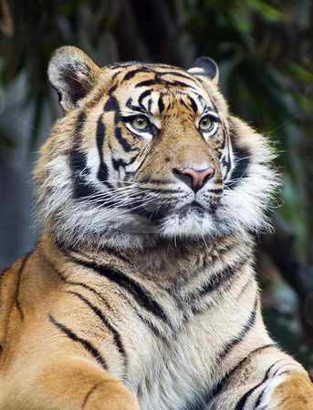 Portrait of a serious tiger stock photo, A high ISO shot (1600) of a very serious Tiger by Robin Ducker