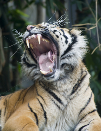 Say Ahhh stock photo, Portrait of a yawning tiger by Robin Ducker
