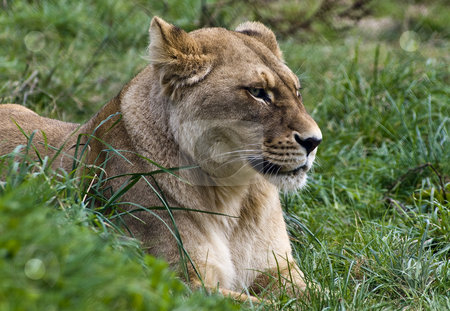 Beautiful stock photo, If its possible for Lions to be beautiful, then here it is; a young lioness without the scars of battle. by Robin Ducker