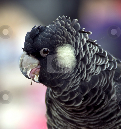Great beak stock photo, Portrait of a parrot with great separation of subject and background by Robin Ducker