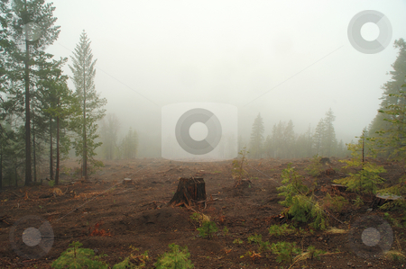 Misty Logged Forest stock photo, A single tree stump left in a cleared area in the forest after logging was done. by Lynn Bendickson