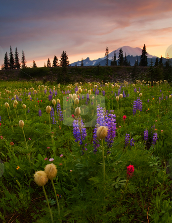 Red Sky Meadow stock photo, Red Skies over Mt. Rainier and a meadow of colorful wildflowers by Mike Dawson