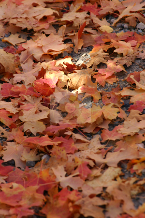 Close up Red Leaves stock photo, Close up Red Leaves  - East Canyon Reservoir by Mehmet Dilsiz