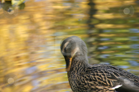 Duck Cleaning  stock photo, Duck Cleaning in the Pond by Mehmet Dilsiz