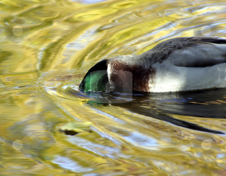 Duck Diving stock photo, Duck Diving in a Park by Mehmet Dilsiz