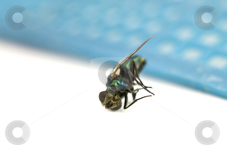 Macro of Dead Fly stock photo, Macro of Dead Fly on White with swatter background by John Teeter