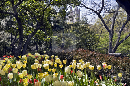 Tulip Garden in New York Central Park stock photo, Brilliant yellow tulips cast a glow in a corner of New York Central Park by Bart Everett