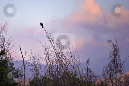 Bird Before Sunrise stock photo, Bird perches on a thin branch as the rising sun colors scattered clouds by Bart Everett