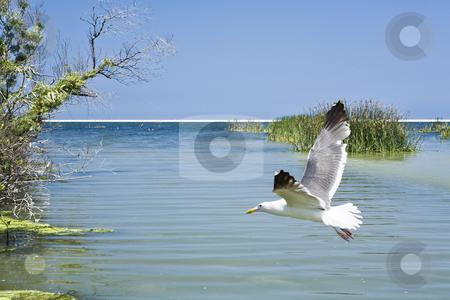 Gull Over Estuary stock photo, Seagull flying over McGrath State Park estuary in Ventura County, CA by Bart Everett