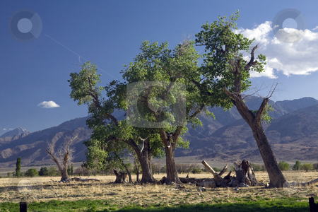 Owens Valley Tree Line stock photo, Line of trees in a pasture against Eastern Sierra peaks by Bart Everett