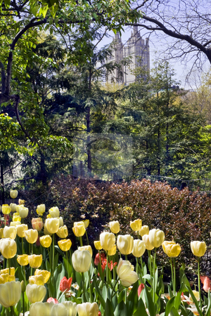 Tulip Garden in New York Central Park stock photo, Yellow tulip garden in New York Central Park is surrounded by dense foliage with tall buildings in the distance. by Bart Everett
