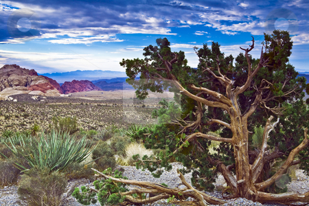 Red Rock Canyon Juniper stock photo, Gnarled juniper and green yucca on overlook at Red Rock Canyon National Conservation Area near Las Vegas, NV by Bart Everett