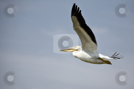 Pelican in High Flight stock photo, White pelican flights high against a gray sky by Bart Everett