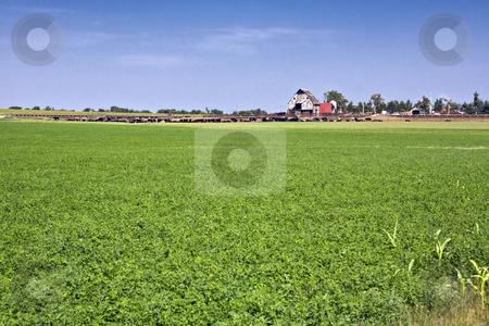 Cattle Farm stock photo, Large cattle farm lies beyond a field of green by Bart Everett