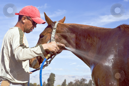 Horse Wash stock photo, Groom Antonio Soto sprays down a horse after a polo chukker by Bart Everett