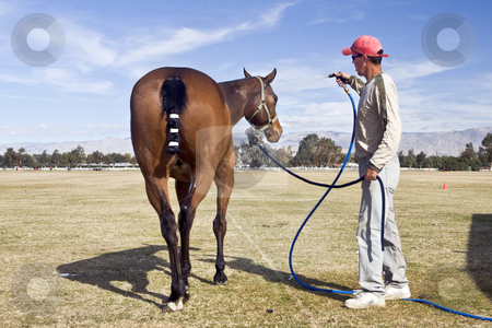 Polo Horse Wash stock photo, Groom sprays down a polo horse after a vigorous chucker. by Bart Everett