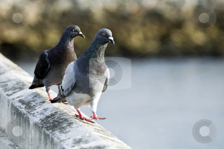 Two Pigeons Walking stock photo, Two pigeons walking on a bridge railing over the Los Angeles River near Playa del Rey. by Bart Everett