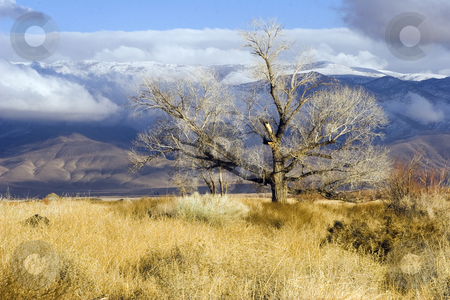 Chalk Bluff Tree stock photo, The White Mountains offer a backdrop for a gnarled tree in California's Owens Valley by Bart Everett