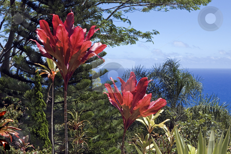 Maui coast garden overlook stock photo, Red leaves contrast with pine and green ferns high above Maui's north coast on the road to Hana by Bart Everett