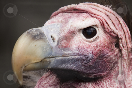 Lappet Faced Vulture  stock photo, Close up of Lappet Faced Vulture (torgos tracheliotus) by Stephen Meese