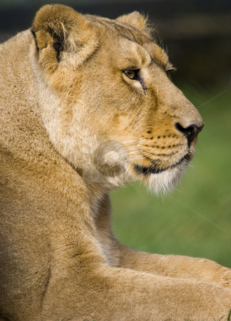 Lioness stock photo, Close up of a Lioness (Panthera leo) by Stephen Meese