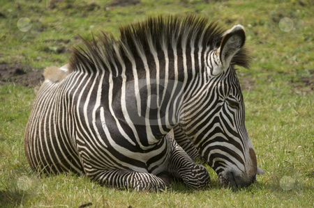 Damara Zebra stock photo, Damara Zebra (equus burchelli antiquorum) by Stephen Meese