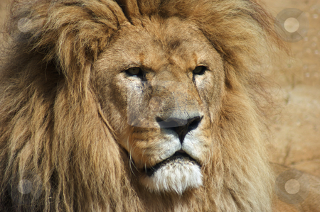 Lion stock photo, Close up of Lion (Panthera leo) by Stephen Meese