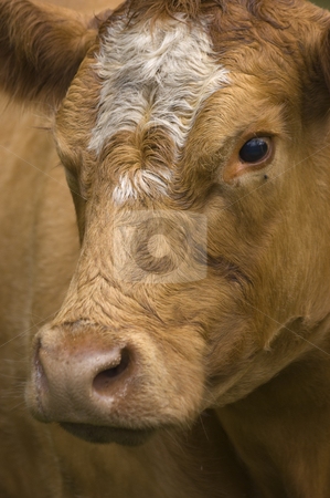 Dairy Cow  stock photo, Close up of Brown and white Dairy Cow by Stephen Meese
