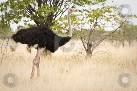 Ostrich stock photo, Ostrich, Etosha National Park, Republic of Namibia, Southern Africa by mdphot