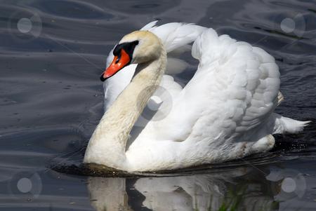 Swan stock photo, Closeup picyture of a beautiful White Swan swimming by Alain Turgeon