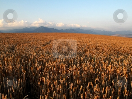 Field and mountains stock photo, Filed with ripe crop in morning light wit mountains in background by Juraj Kovacik