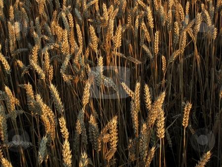 Ripe crop spikes stock photo, Ripe crop spikes by Juraj Kovacik
