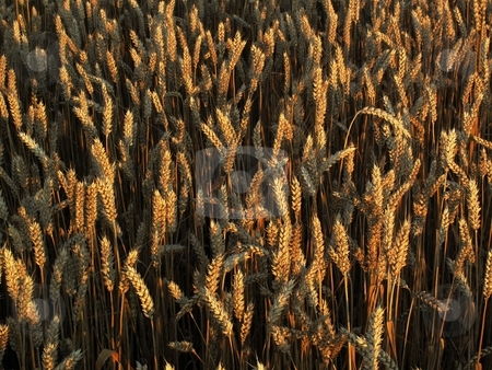Crop spikes stock photo, Detail of crop spikes in morning light by Juraj Kovacik