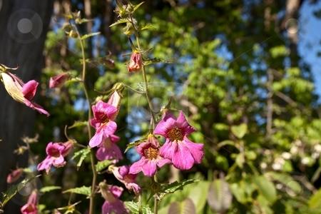 Foxglove stock photo, Digitalis purpurea (Common Foxglove, Purple Foxglove or Lady's Glove), is a flowering plant in the family Plantaginaceae by Mariusz Jurgielewicz