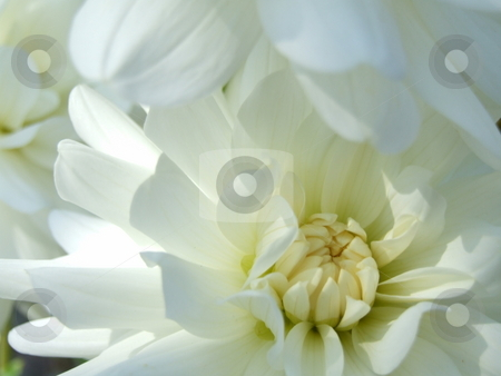 White Flower stock photo, White Flower by Stephen Lambourne