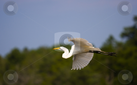 Great Egret in Flight stock photo,  by Marianne Dent