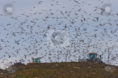 Seagulls in Landfill stock photo,  by Marianne Dent