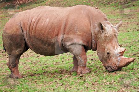 White Rhinoceros stock photo, White rhinoceros (Ceratotherium simum) - landscape orientation by Stephen Meese