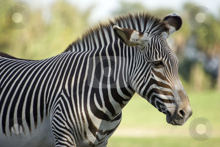 Zebra stock photo, Damara Zebra (equus burchelli antiquorum)  - landscape orientation by Stephen Meese