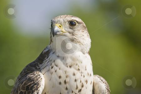 Saker Falcon stock photo, Saker Falcon (Falco cherrug) - landscape orientation by Stephen Meese