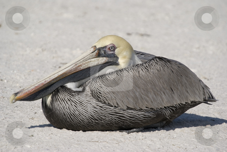 Brown Pelican stock photo, Brown Pelican (Pelecanus occidentalis) - landscape orientation by Stephen Meese