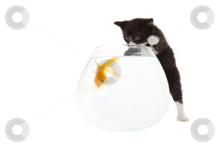 Kitten and fish stock photo, Kitten trying to play with a shocked looking goldfish by Steve Mcsweeny