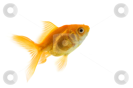 Goldfish stock photo, A single goldfish on a white background by Steve Mcsweeny