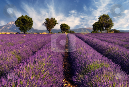Lavender field in Provence, France stock photo, Image shows a lavender field in the region of Provence, southern France, photographed on a windy afternoon by Andreas Karelias