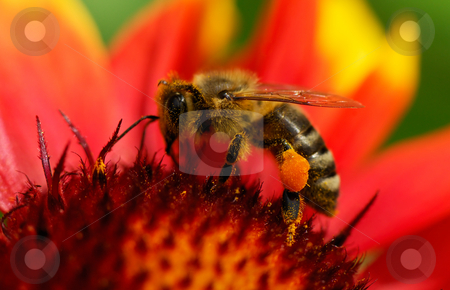Bee on flower stock photo, Image shows a bee been busy on a flower by Andreas Karelias