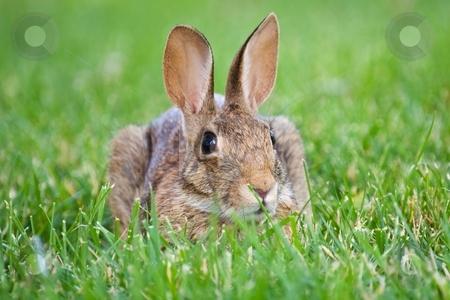 Brown Rabbit stock photo, Brown rabbit sitting in green grass by Bill Fehr
